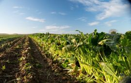 EU proposes not to renew approval of herbicide desmedipham
