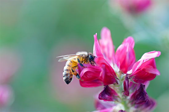 Researchers found that flupyradifurone combined with a common fungicide causes greater lethal effects on bees
