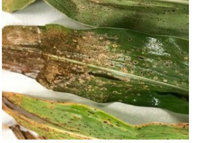 FMC's Lucento Fungicide Issued a 2(EE) Label for Tar Spot in Corn