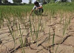 Crops suffered intensified drought in India Maharashtra