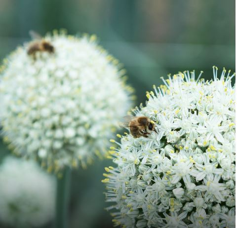 Bees and Bejo:  natural partners in seed production