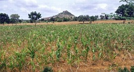 Rains affect sowing of major Kharif crops up to 50% in India