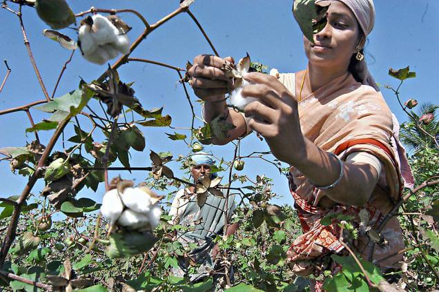 India's pro-GMO cotton farmers make case for relaxed biotech crop rules to prime minister