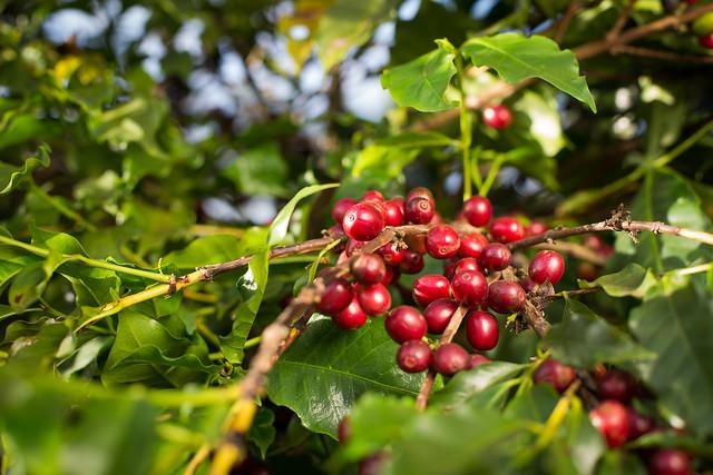 World coffee production reaches 174.5 million bags in 2018-19