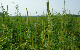 Palmer amaranth's molecular secrets reveal troubling potential