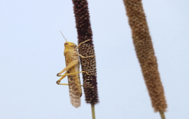 Locust horde threaten Pakistan's prized cotton farms
