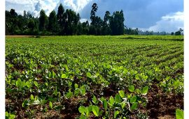 AMPATH and Corteva team training farmers to adopt soybean in Western Kenya