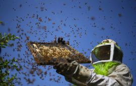 US EPA to approve first beehive uses of biopesticide to control wax moths