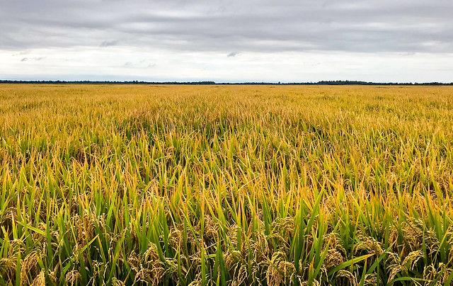 New high-yield, long-grain Clearfield rice variety CLL16 from the University of Arkansas to be released by Horizon Ag in 2021