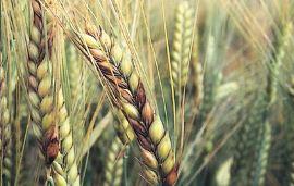 小麦赤霉病呈偏重发生,这些新产品和最新研究进展你应该了解