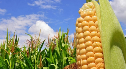 Brazilian pesticide market for corn up 8%