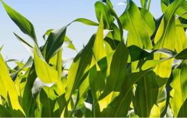全球首个在玉米全身细胞内固氮的菌剂产品,增产高达5-13%——专访Azotic(北美)总裁