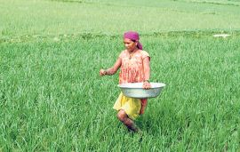 Govt says 100,000 tons of imported chemical fertilizers en route to Nepal while rainy season is at doorstep