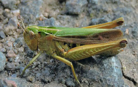 India will aerial spray pesticide to deal with locust attack problem