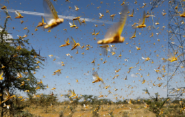 Locust Attack! Control Operations Carried out with Full Swing in Rajasthan, Gujarat and MP