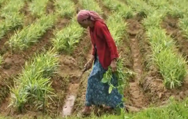 India's agriculture policy dilemma