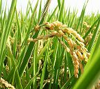 DOW's two new herbicides registered for rice