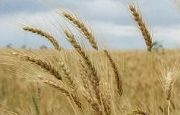 Syngenta Canada develops new wheat herbicide Sierra and Pace