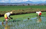 Bayer CropScience and IRRI expand rice science collaboration