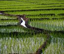 Large Scale Production of GM Rice in China starting 2011