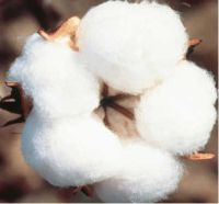 Monsanto to earn Rs 340 cr tech fee for Bt cotton