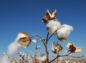 Global 2010-2011 cotton production to rebound on strong market prices