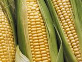 China accelerates the pace of GM corn research