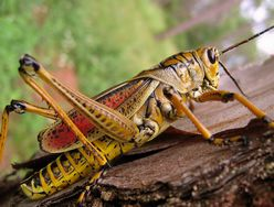 Nitrogen fertiliser 'could prevent locust swarms'