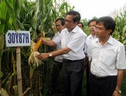 Vietnam still keeps cautious with GM crops