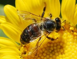 France to ban a Syngenta pesticide to protect bees