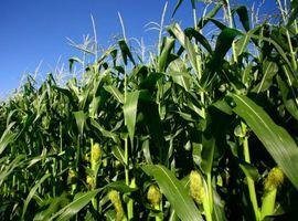 European GM crop area diminishes