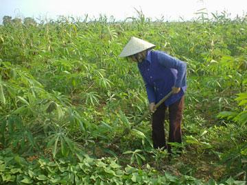 Micro-organic fertiliser boost cassava productivity in Quang Tri, Vietnam