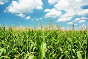 Potash Markets Surge on Rising Corn Price