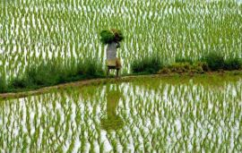 Indian farmers fight a tricky sludge of poor credit, odd monsoon, crop loss