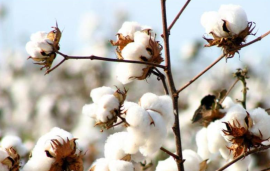 Indian Government estimates production of Cotton at 486.76 Kg/Hectare