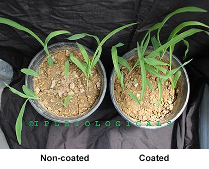 Microbial Seed Coating - New Horizons in Seed Coating Solutions