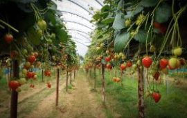 Plant breeder and seed company Elsoms enters UK strawberry market