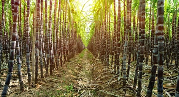 Sugarcane agrochemicals market drops 3% in Brazil