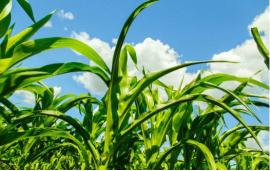 今年草贪发生压力明显大于上年,氯虫苯甲酰胺等新型农药助力打赢草贪防控阻击战