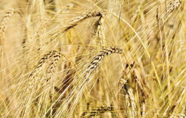 Beneficial bacteria help wheat stand the heat
