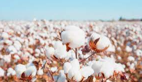 Nufarm expands cotton solutions portfolio with Pentia Plant Regulator acquired from BASF