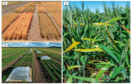 Victoria, Australia - Scientist leads research for higher yielding crops