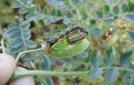 Australia - Best practice key to Helicoverpa insecticide resistance