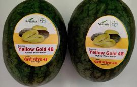 Yellow Gold 48 Watermelon: All you need to know about India's first-ever yellow watermelon variety
