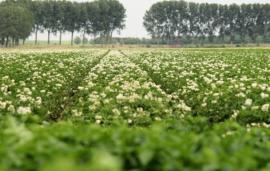 Wageningen scientists discover how the potato blight pathogen penetrates the plant
