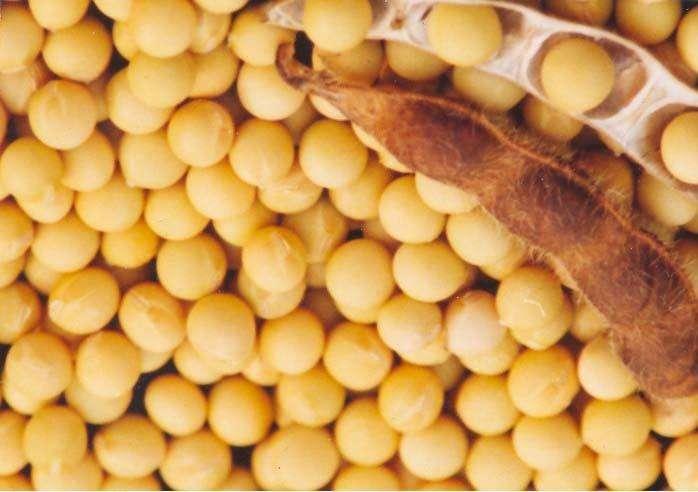 科迪華在巴西推出Enlist大豆種子 可耐受草甘膦、草銨膦和2,4-D膽堿