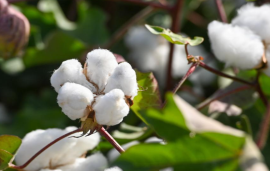 India - Cotton harvest likely to be delayed amid flooding in Saurashtra region in Gujarat