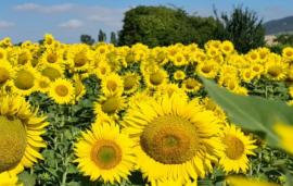 Nuseed's focus on healthier sunflower hybrids