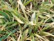 小麦土传花叶病毒病