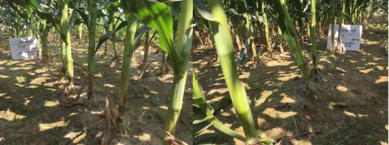 玉米效果.png